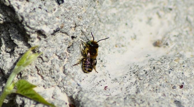 A beautiful wild bee on the rock