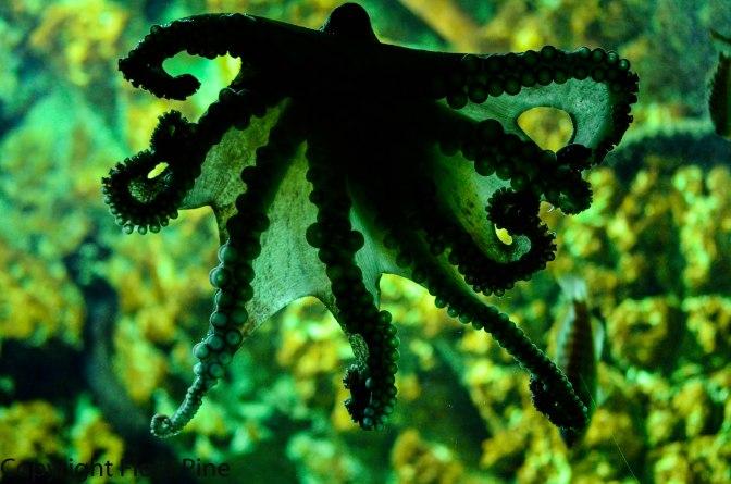 Α large octopus at Aquarium of Rhodes